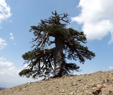 Adonis, Longest Living Tree in Europe